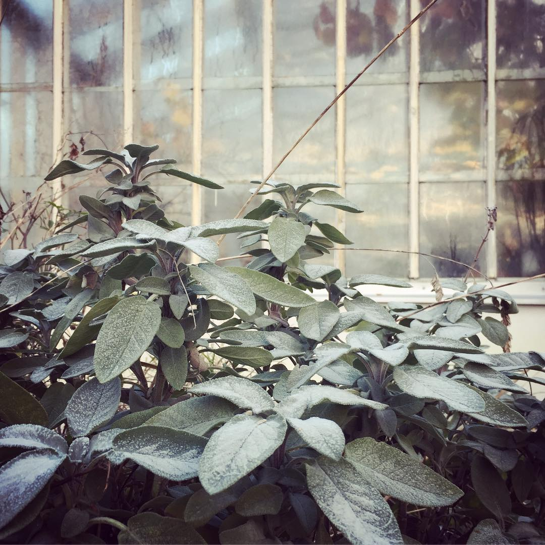 Frozen morning sage greenhouse klagshamn sweden Continue reading rarr