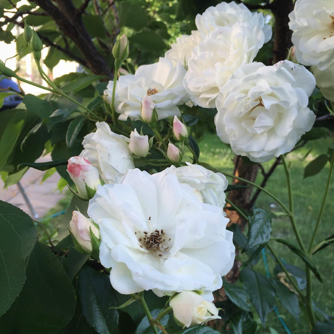 Blir mer frtjust i rosor fr varje r  inhellip