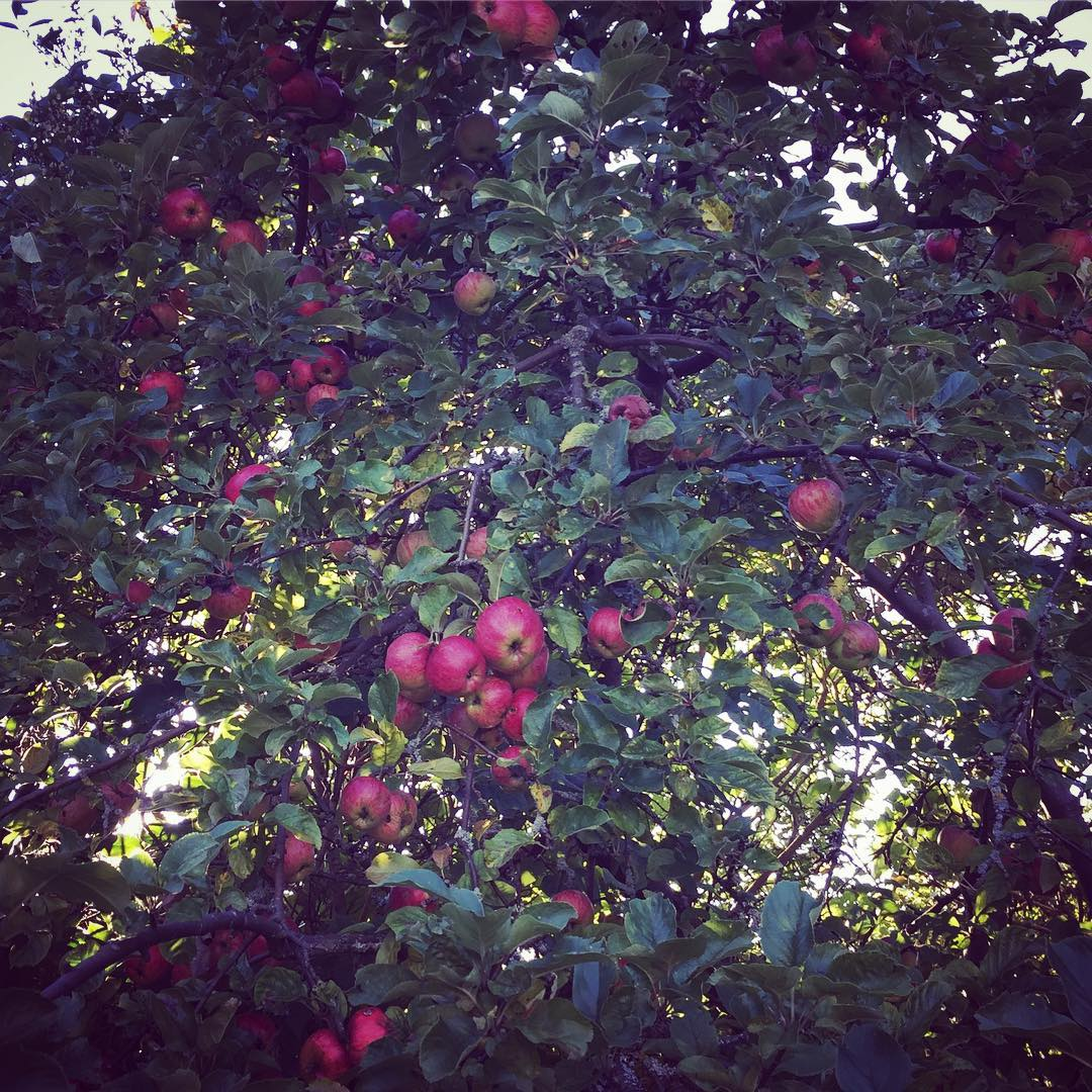 Dags fr rets frsta pplepaj  in my garden appletreehellip