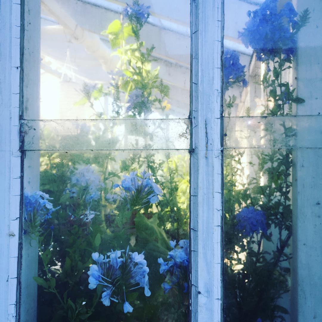 Morning! Tv nyanser blyblomma  in my greenhouse plumbago blyblommahellip