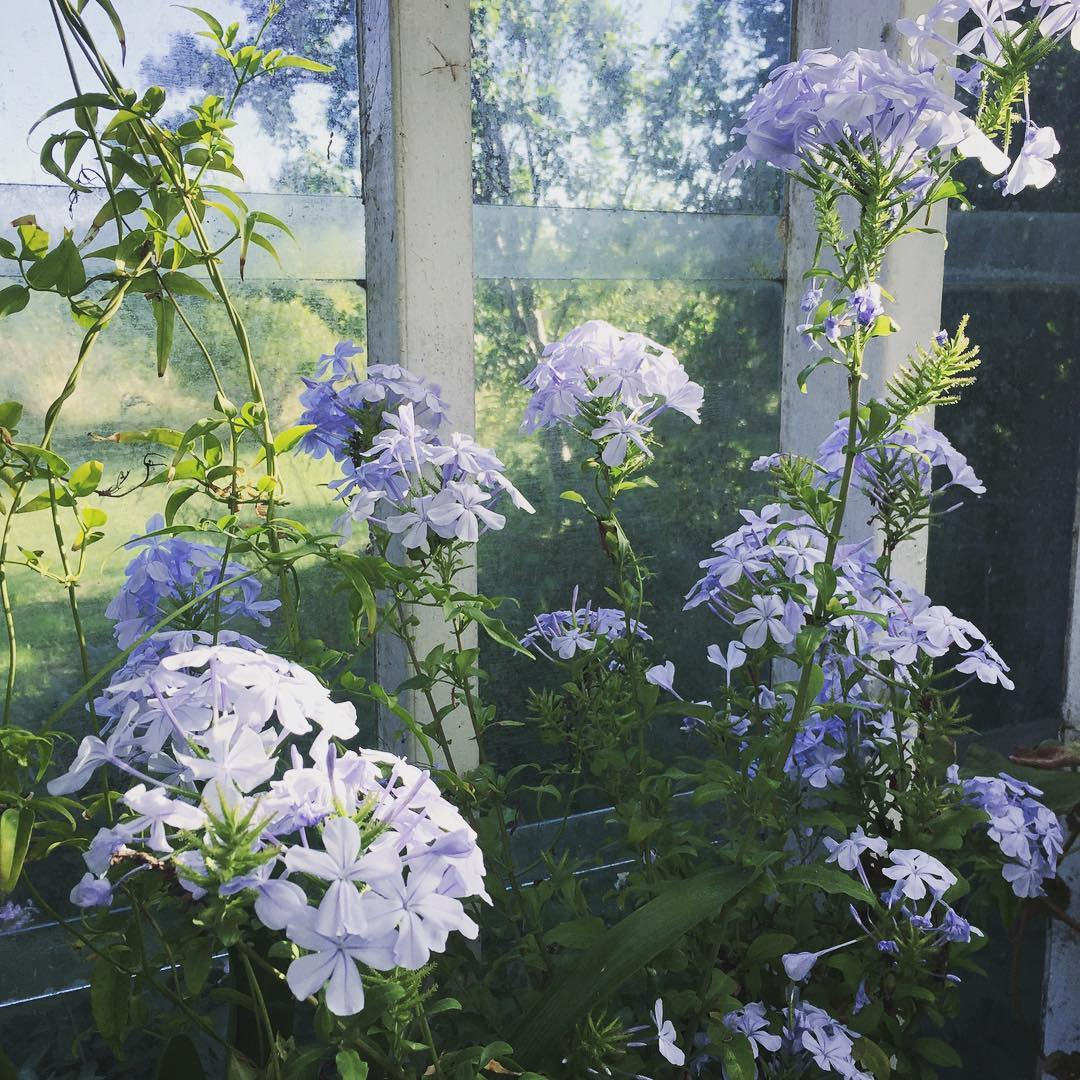 Favorit  in my greenhouse blyblomma plumbago Continue reading rarr