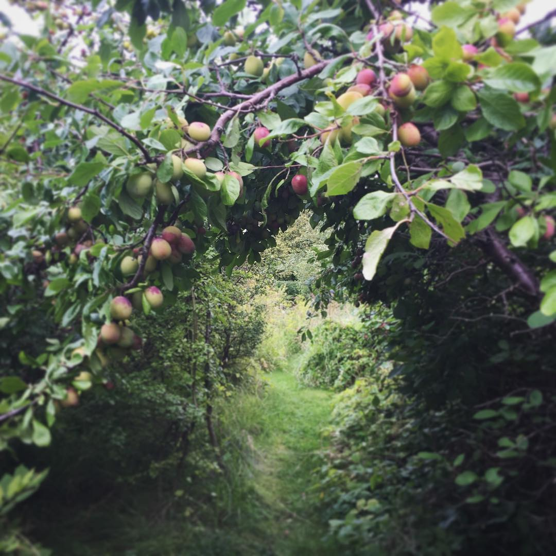 Plommongng  on a walk at home lotsofplums sweden Continuehellip