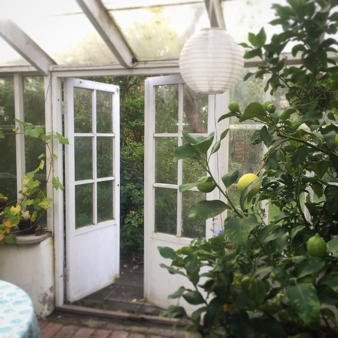 Fler citroner p g  lemontree in my greenhouse swedenhellip
