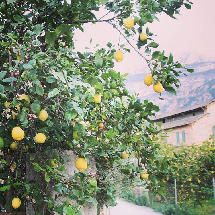 Mallislngtan  longing for next visit soller mallorca citrusdrmmarocholivlundar lemontreehellip