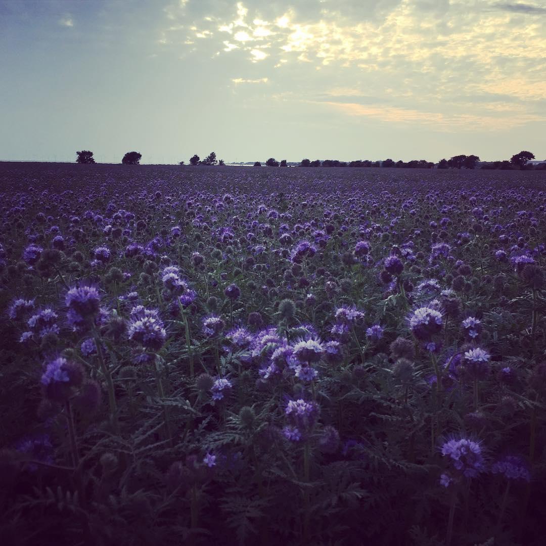 Underbara honungsrt!  evening walk at home love this fieldhellip