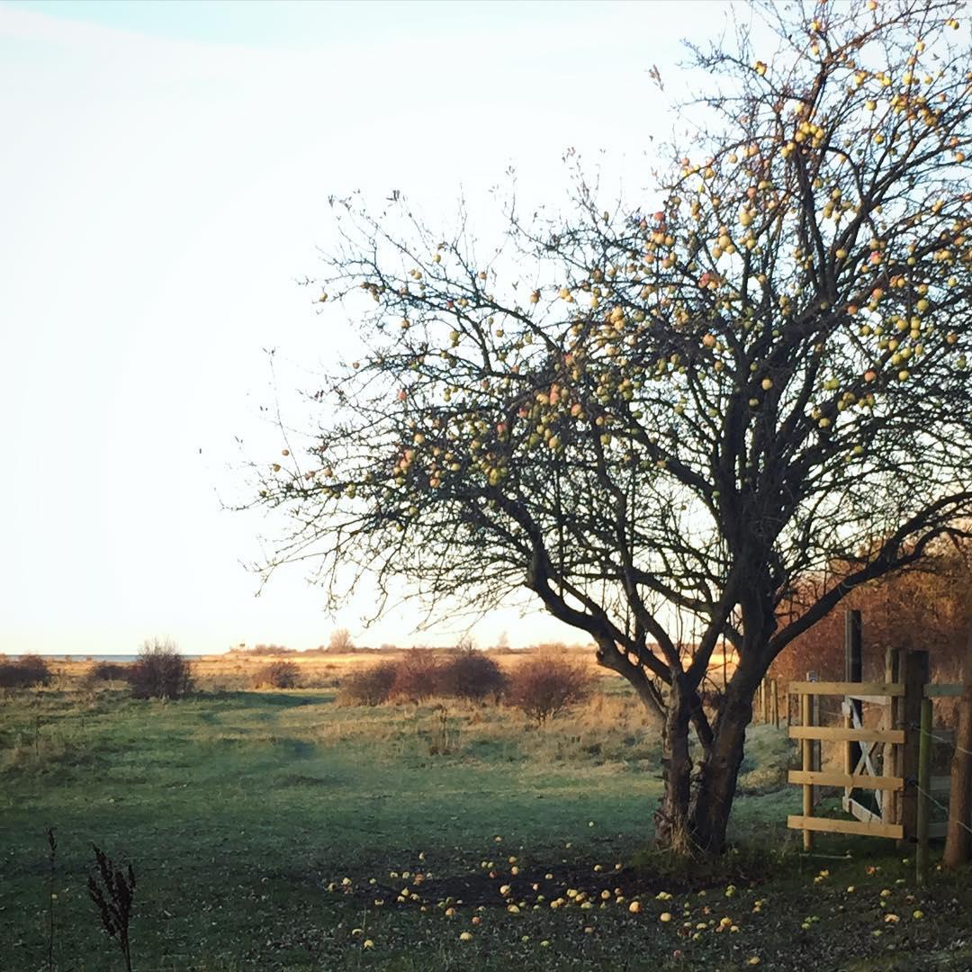 Morning! Dags fr ngspromenad  the appletree near home klagshamnhellip