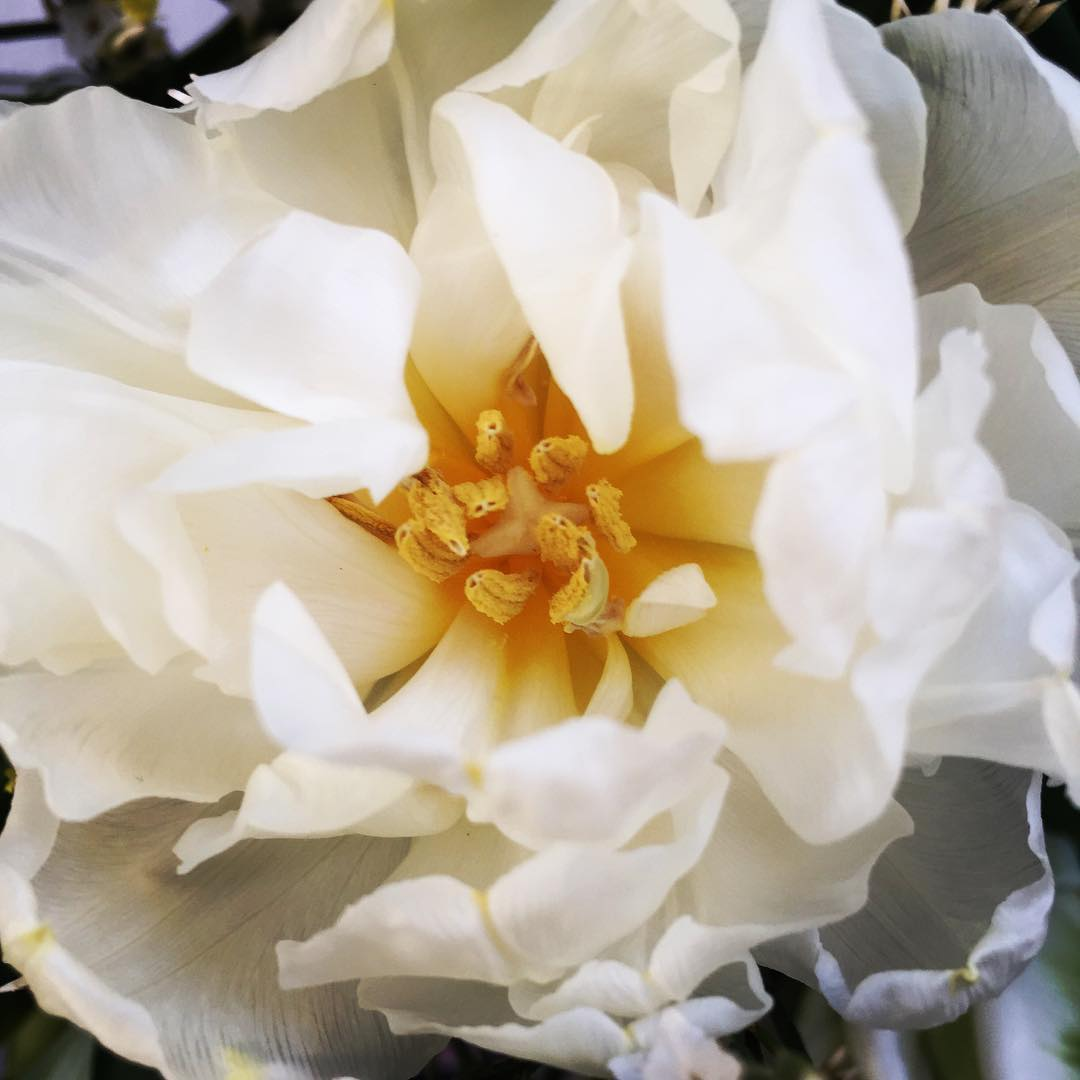 Trevlig helg allihop!  have a nice weekend! tulips piontulpanhellip